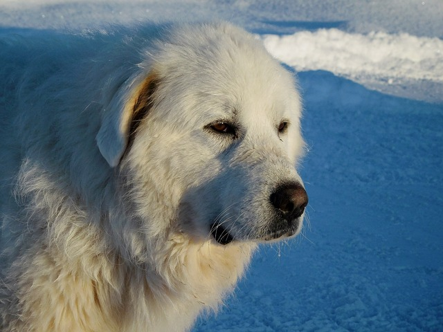 a Great Pyrenees stares off into the distance