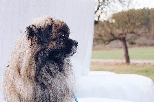 a Pekingese sits in the park