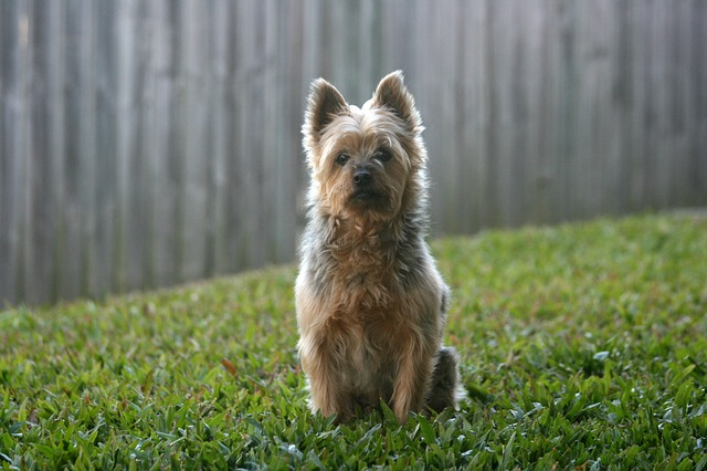 a Silky Terrier in the back yard