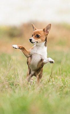 a tiny dog