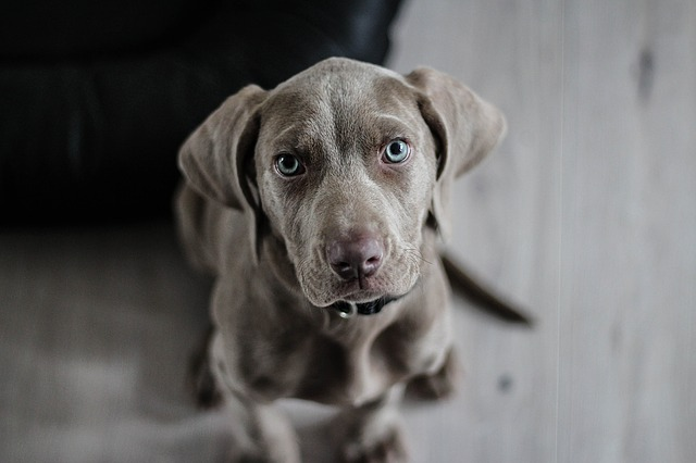 a weimaraner puppy