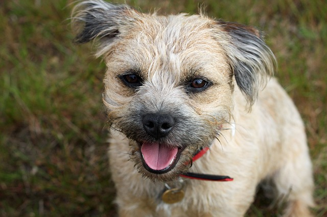 a Border Terrier looking at the camera