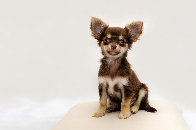 brown and tan chihuahua
