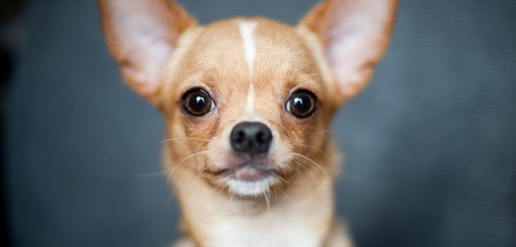 a chihuahua stares at the camera