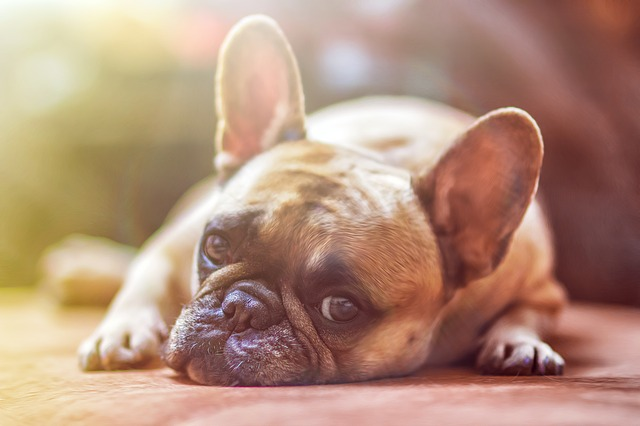 a french bull dog laying in the sun
