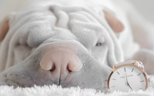 a sleeping shar pei