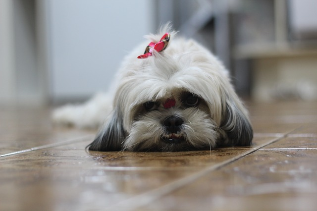 a shih tzu sits on the floor