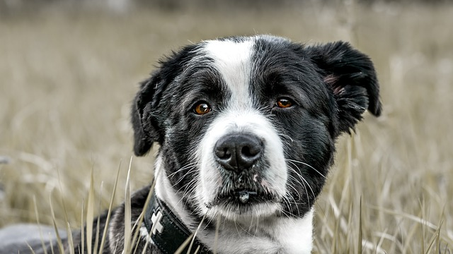 a black and white dog that looks sad